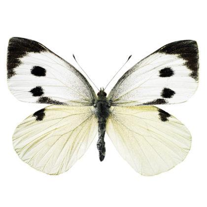 KEK Amsterdam Hagedornhagen vlinder